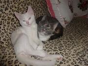 белый голубоглазый котик с документами -на вязку