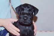 Продам породных щенков стандартного шнауцера черного окраса