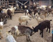 Продам козлят молодняк